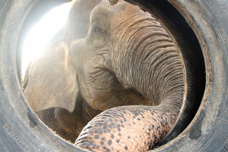 Female ♀ Asian elephant Boonmee at WFFT wildlife rescue center and Elephant refuge