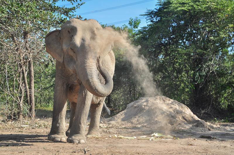 Female ♀ Asian elephant (Elephas maximus) Chok Dee at WFFT wildlife rescue center and Elephant refuge