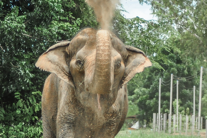 Female ♀ Asian elephant (Elephas maximus) La Ong Dao at WFFT wildlife rescue center and Elephant refuge