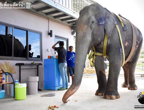 Elephant Nam Phon Update