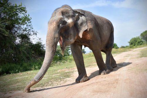 Female ♀ Asian elephant (Elephas maximus) Malai Ngun at WFFT wildlife rescue center and Elephant refuge