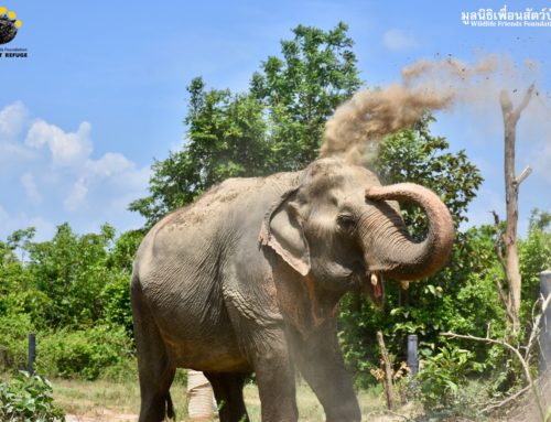 Elephant Alicia — Dust bathing Time