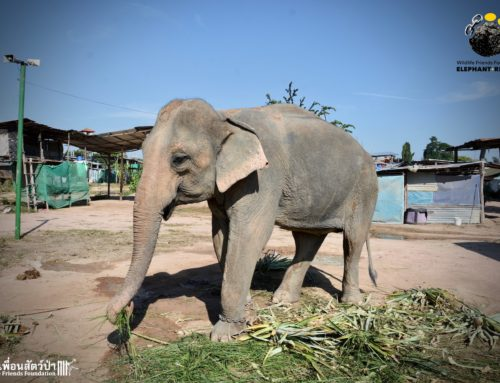 A Sad Victim of the Elephant Tourism Industry – Thong Phoon