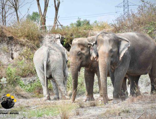 Happy National Elephant Day /// Chang Thai Day (วันช้างไทย)