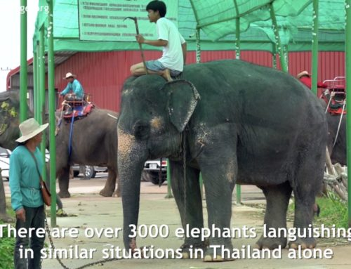 BREAKING NEWS: Elephant Boon Dee Regains Her Freedom (VIDEO)