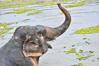 Adopt Alicia at Thai Elephant Refuge