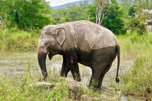 Adopt BoonDee at Thai Elephant Refuge