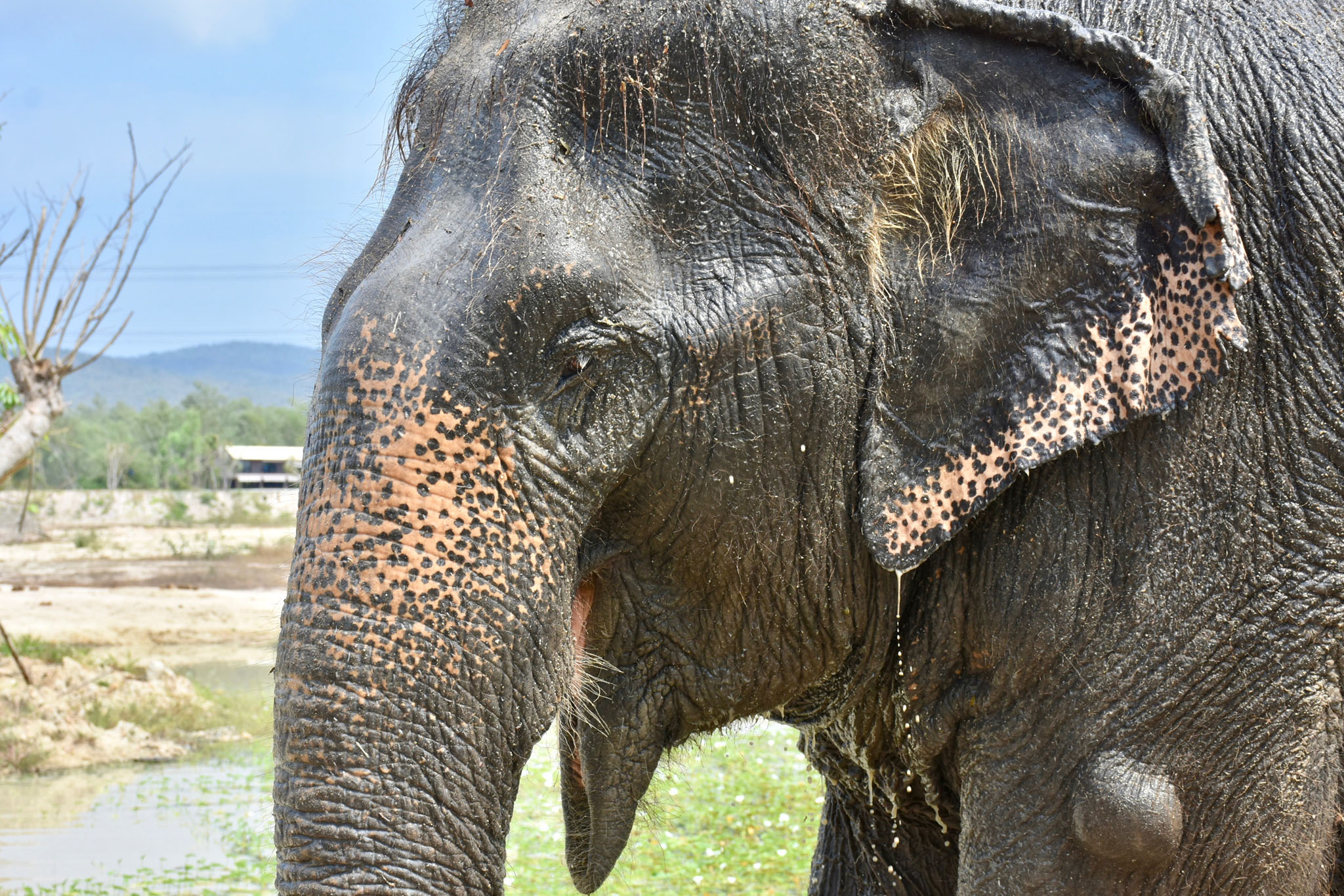 Adopt MeeChai at Thai Elephant Refuge