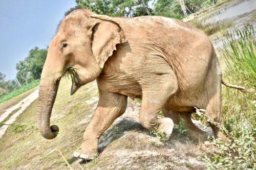Adopt PoomPuang at Thai Elephant Refuge