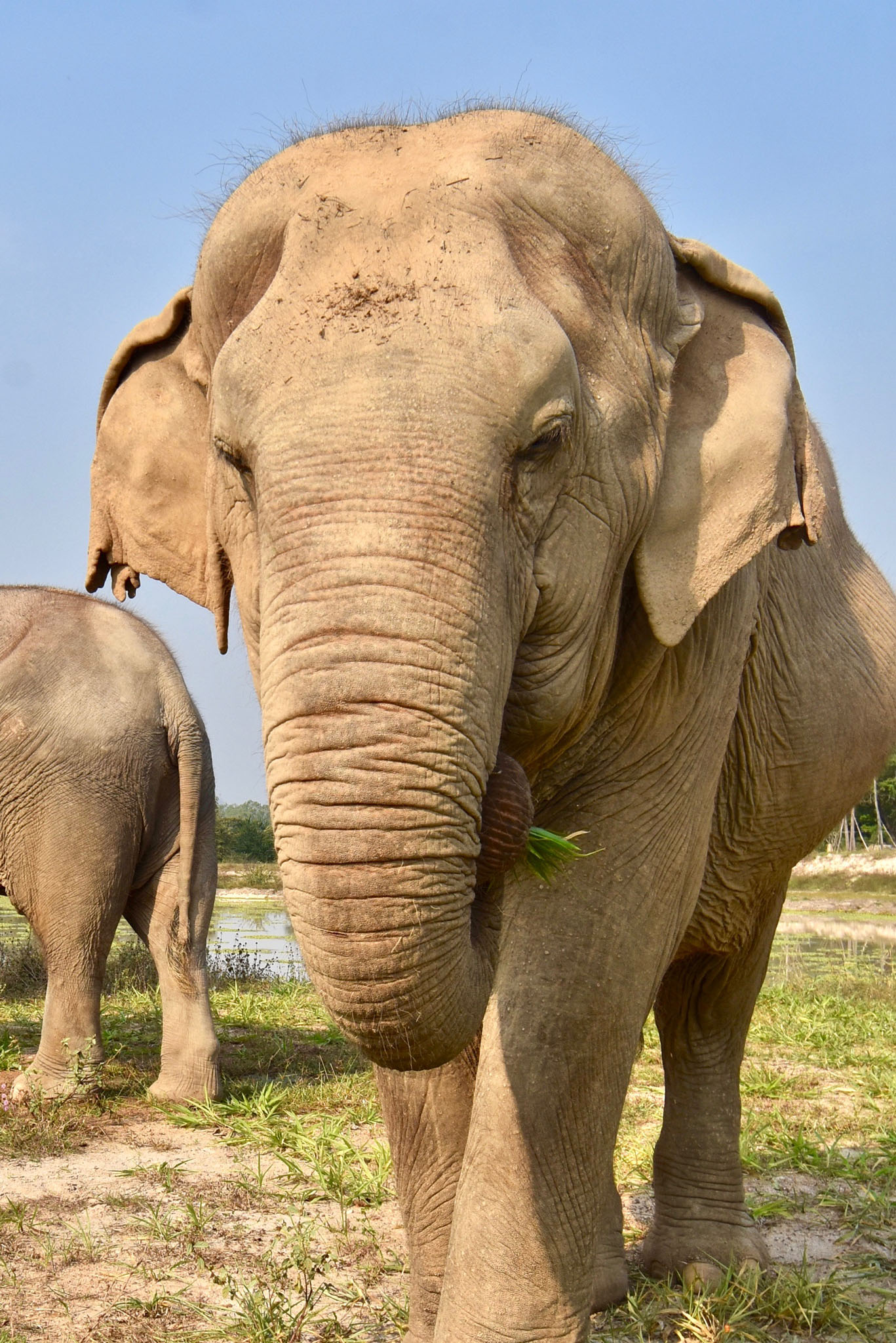 Adopt ThongMa at Thai Elephant Refuge