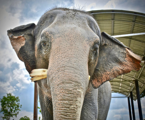 Adopt ThongPoon at Thai Elephant Refuge
