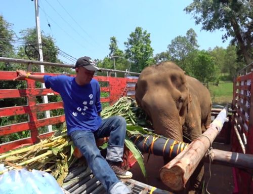 A Sad Victim of the Elephant Tourism Industry - Thong Phoon - Thai