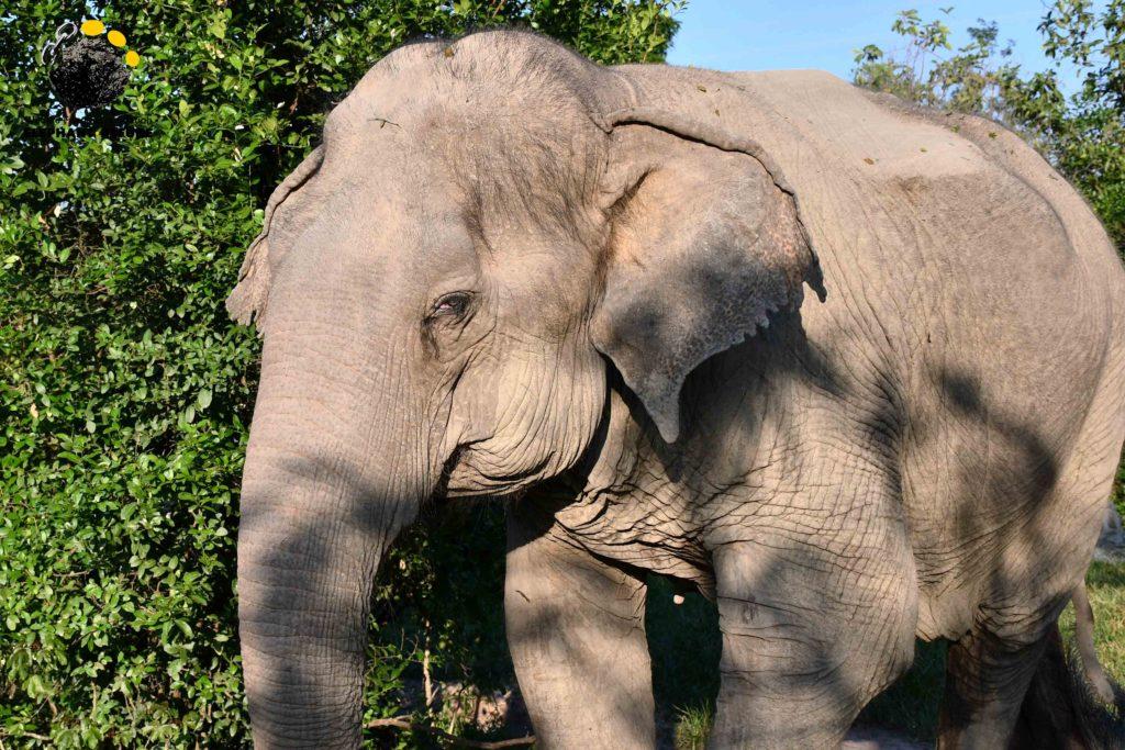 Nam Fon the elephant