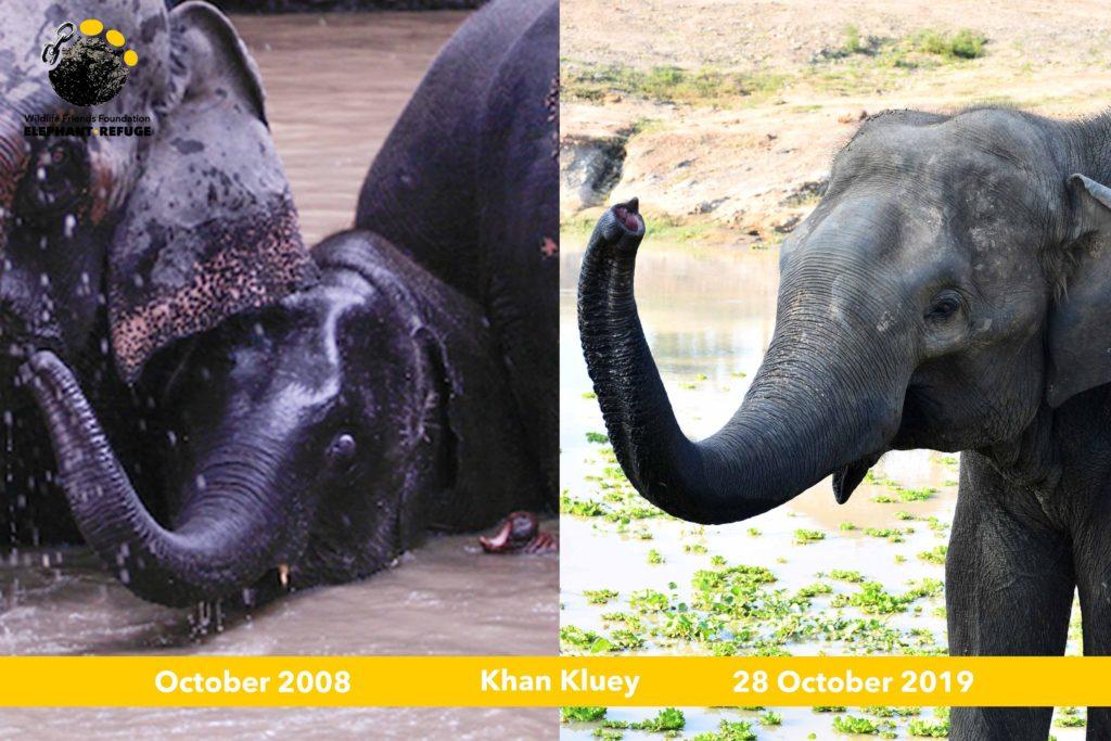 khan kluey the elephant