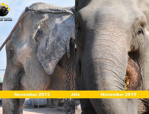 Jele and Chokdee Anniversary at WFFT Elephant Refuge