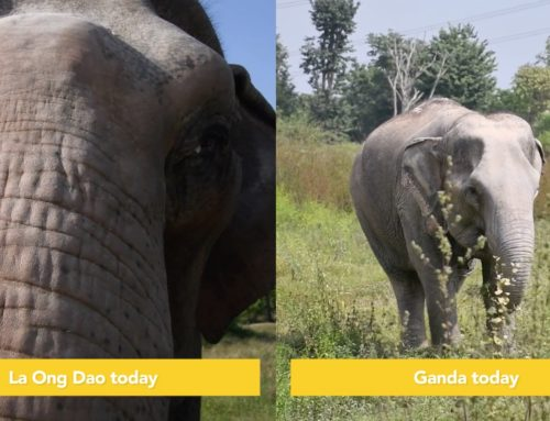 La Ong Dao and Ganda Anniversary at WFFT Elephant Refuge