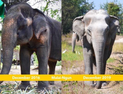 Malai-Ngun's 3 years Anniversary at WFFT Elephant Refuge