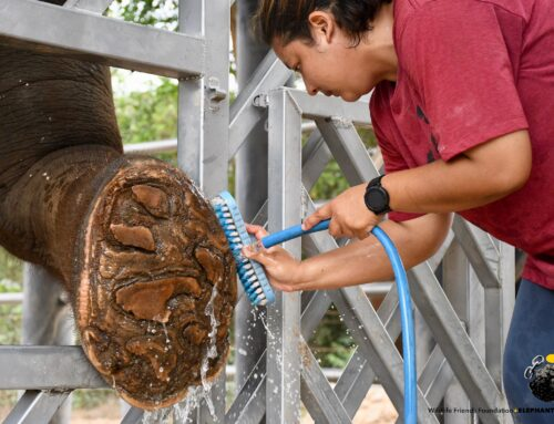 WFFT's First Elephant Training Wall